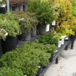 Potting Shrubs